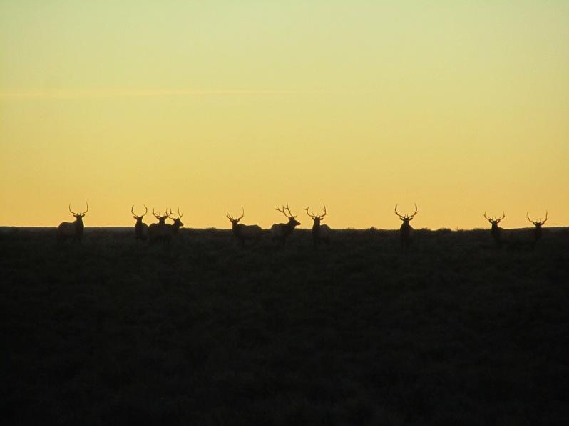 High desert elk bulls