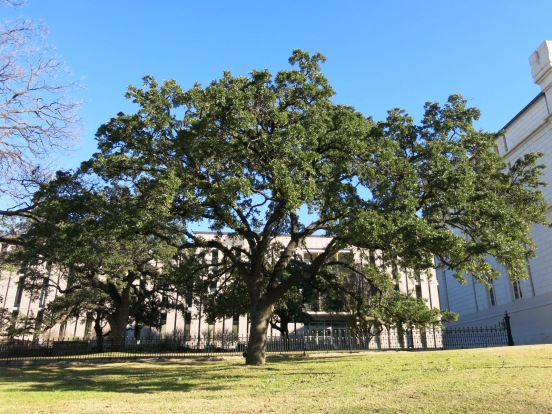 There are many kinds of live oaks found in the south.  They don't lose their leaves and remain green all winter.