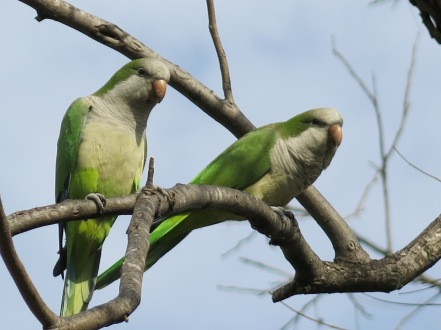 Monk Parakeets, native to South America, took hold in Austin in the 1970s.