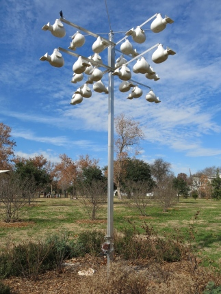 The purple martin winters in South America but nests in Austin.