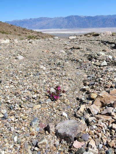 A common sight: a lone plant blooming in a gravel wash.