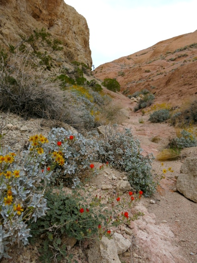Brittlebush mixed with something red