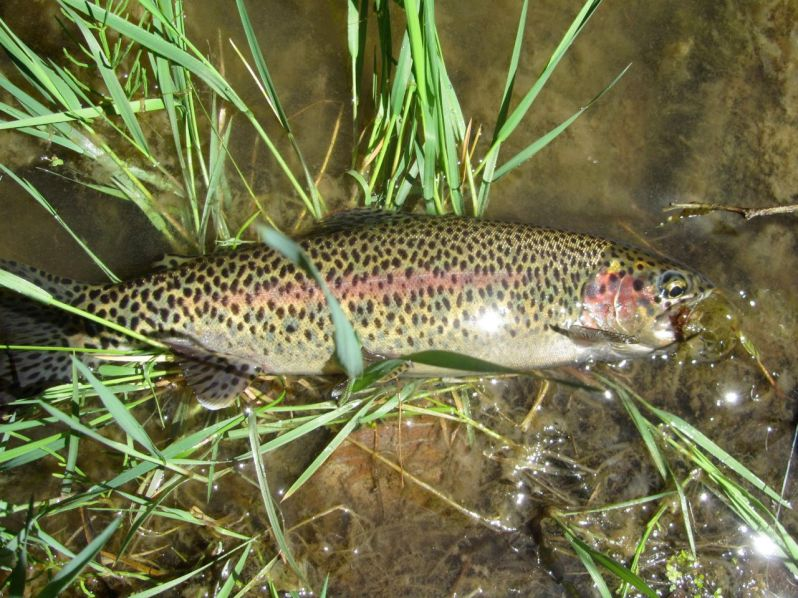 11-spotted trout