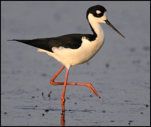 22-black-necked-stilt-22897