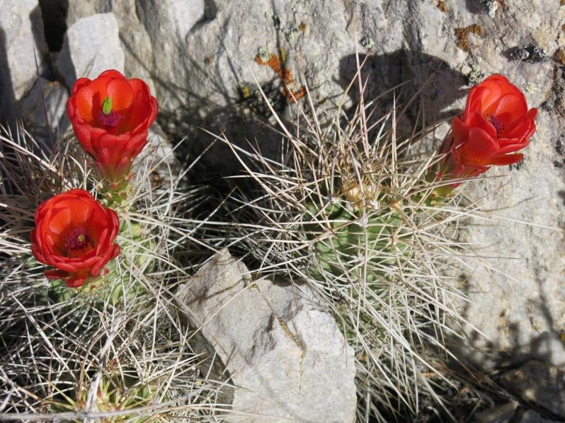 Mojave Mound Cactus (Echinocereus triglochidiatus)