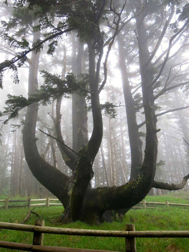 The Octopus Tree near Cape Meares lighthouse is thought to be an Indian ceremonial tree trained to grow in this shape and is probably over 250 years old.