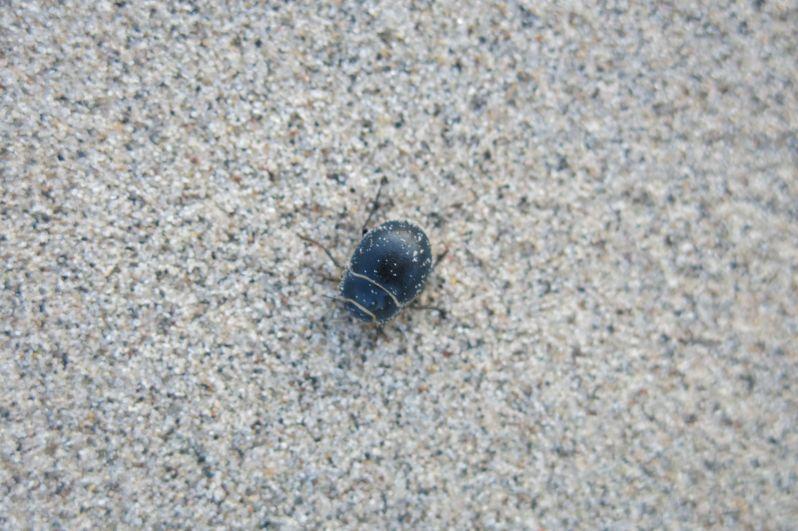 Five species of endemic beetles live on the Eureka Dunes.