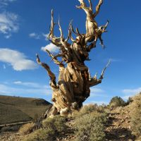 Moby Goes to the Ancient Bristlecone Pine Forest