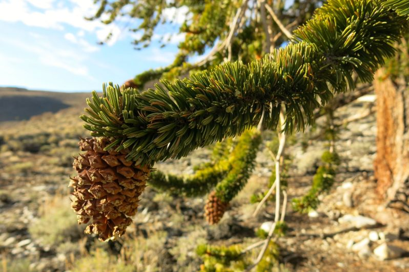 """A look at the """"bottle brush"""" branch and bristle cone."""