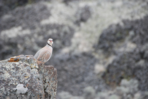 Chukar (photo from http://chukarhunting.net/the-chukar/)