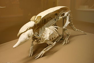 330px-Nine-banded_armadillo_skeleton
