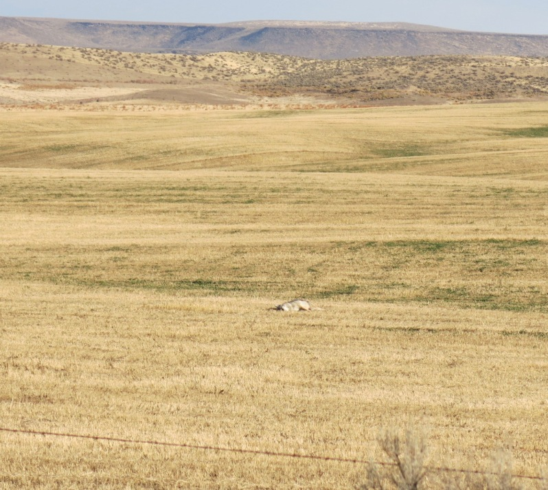 dead-coyote