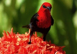 red-hoeyeater