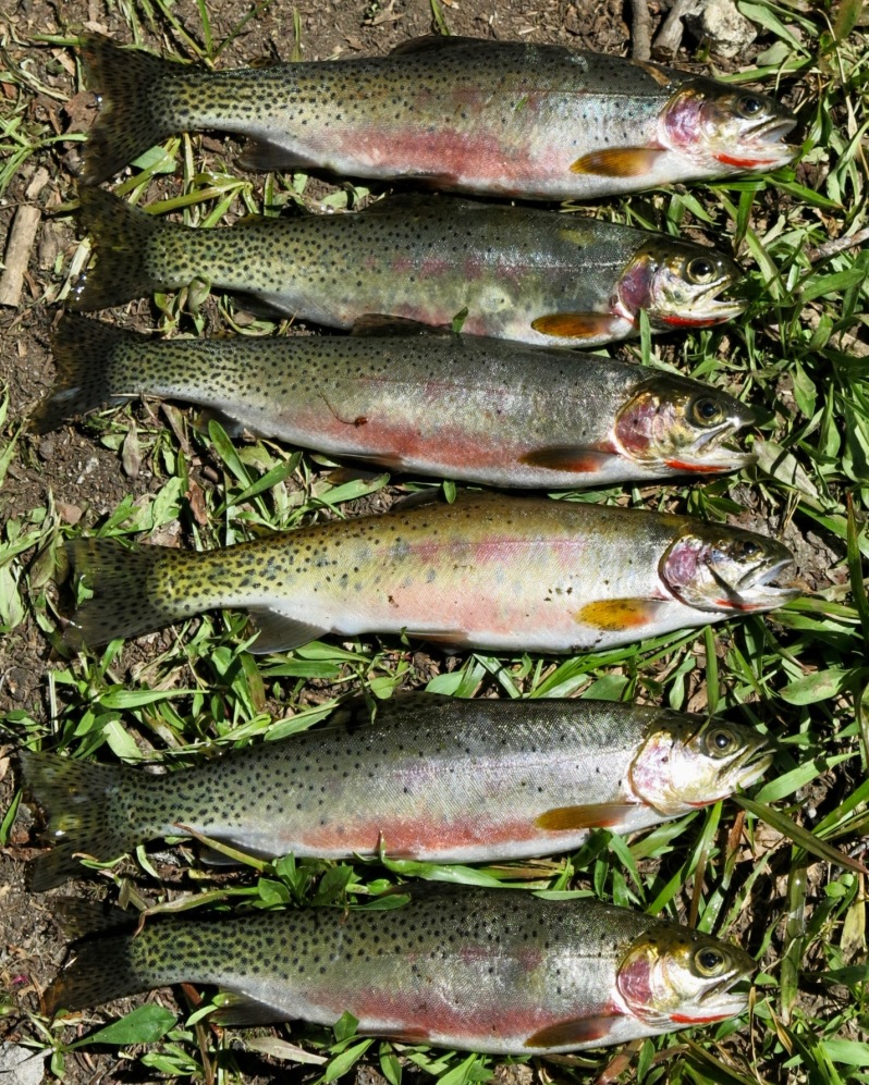 12 Slab trout