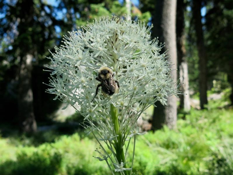 17 Bear Grass bumblebee