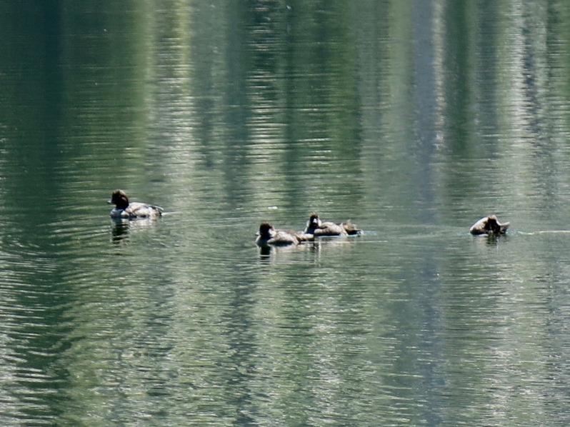 41 ducks