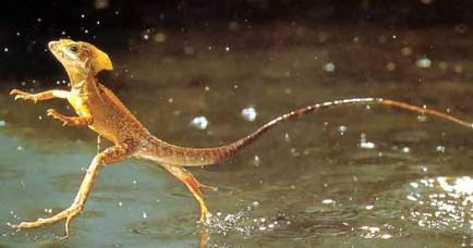 jesus-lizard-running-on-water-basilisk