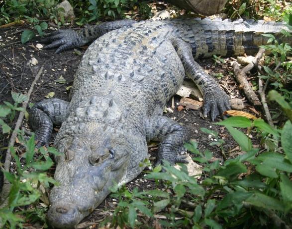 morelets croc1-1